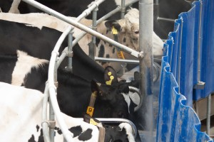 Hranirea vacilor in standul de muls